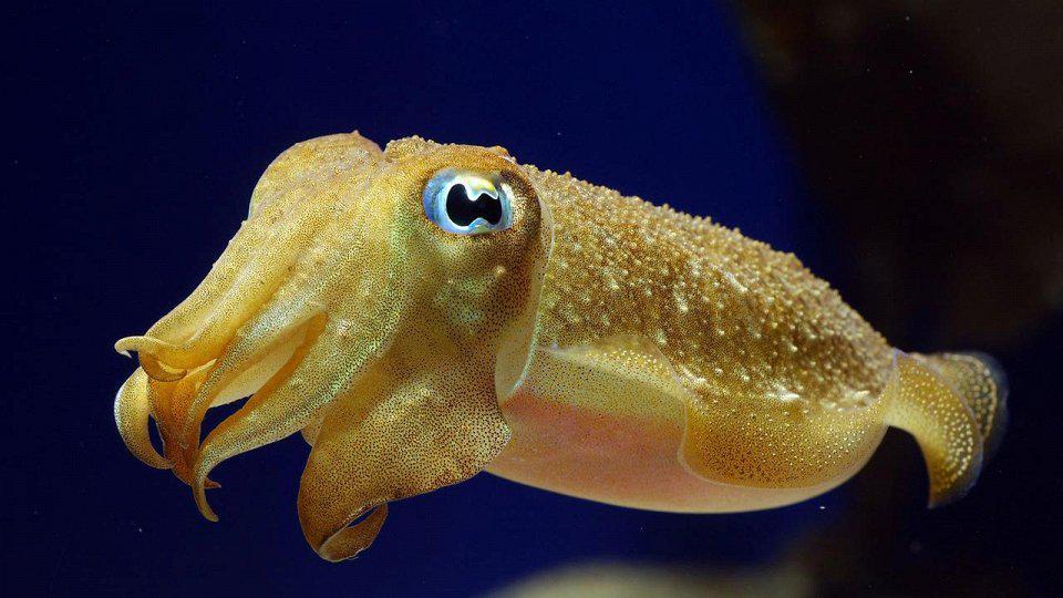 Морские обитатели-каракатица