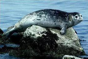 Морские обитатели-Тюлень