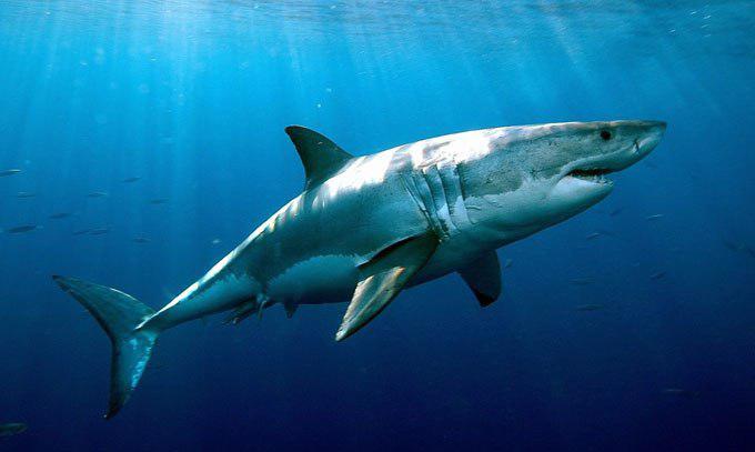 Акулы враги русалок